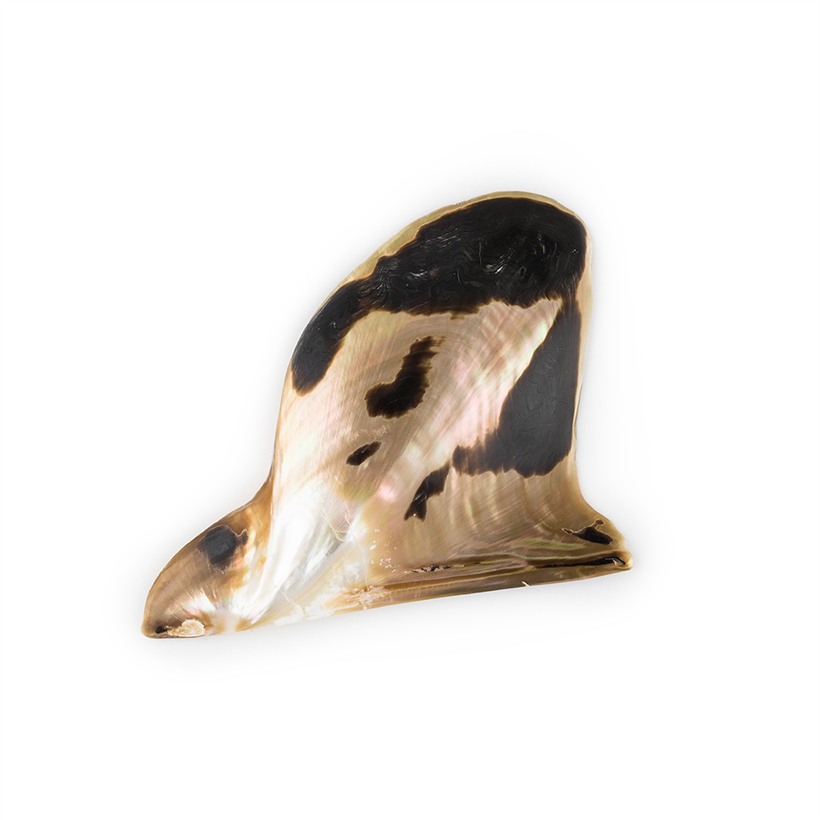 Polished Brownlip Oyster Shell