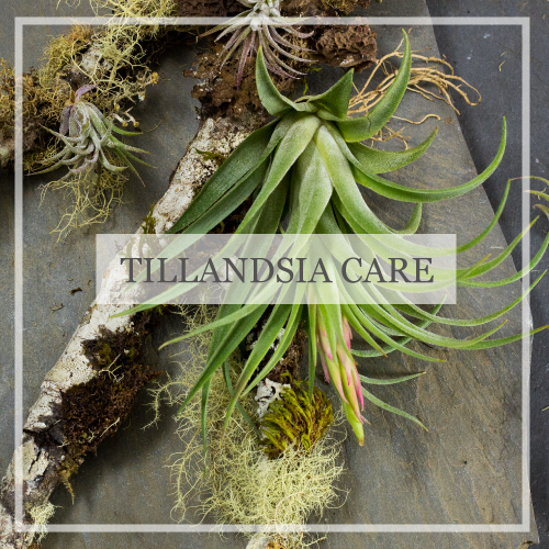 Tillandsia Care